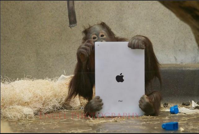 Orangutani milují iPad jako lidé