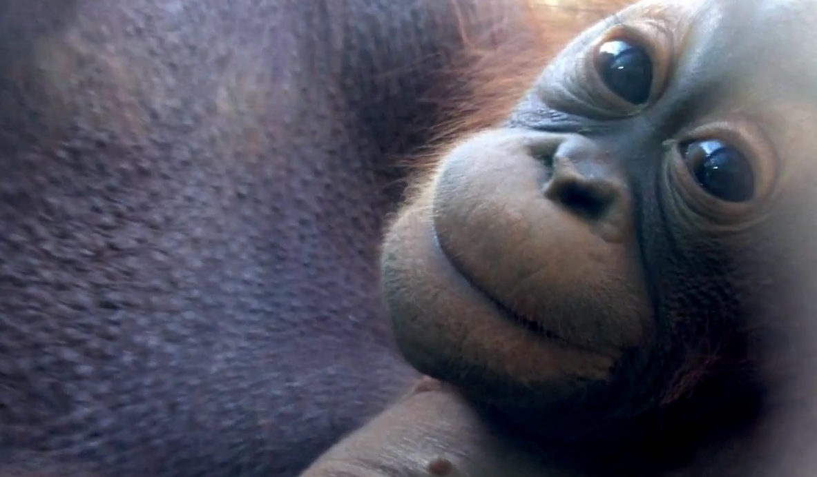 Smiling baby orangutan - photo#18