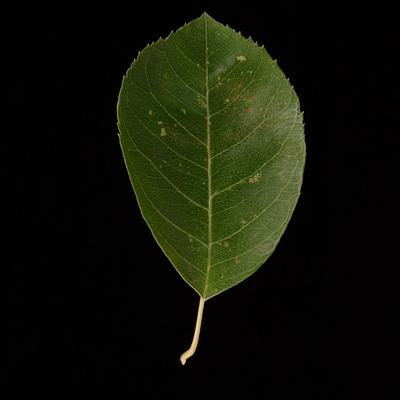 What Tree Is That? Leafsnap Tells You In Seconds