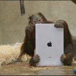 Loving The iPad Is In Our DNA And Orangutans Prove It